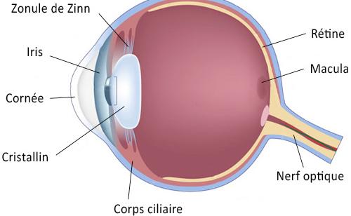 Schéma en coupe de l'œil - cristallin